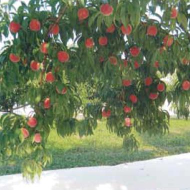 ルンルンシート白ピカ 果樹桃に設置